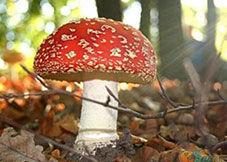 美丽的诱惑—自然界七种致命的蘑菇