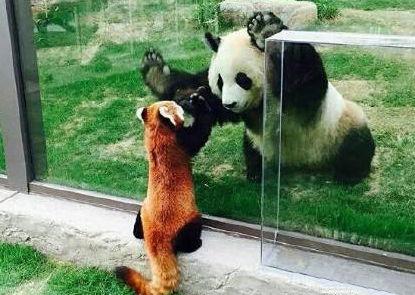 大熊猫和小熊猫
