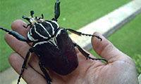 最大的虫子有多大