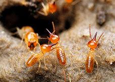 白蚁的生活习性