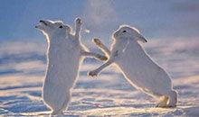 摩登大自然:北极兔