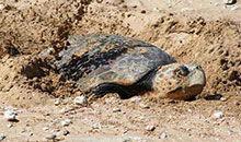 酷杰 第三季06:海龟下蛋