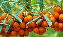 识物园-沙棘 橘红色的顽强浆果