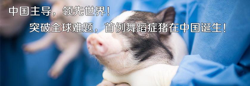 中国主导,领先世界!突破全球难题,首例舞蹈症猪在中国诞生
