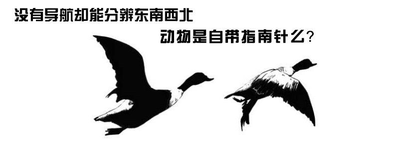 《阿U学科学》25集:动物自带指南针吗