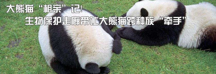 """大熊猫""""相亲""""记!生物保护走廊带让大熊猫跨种族""""牵手"""""""