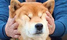 日本的柴犬怎么就火了呢?