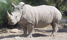 摩登大自然:白犀牛
