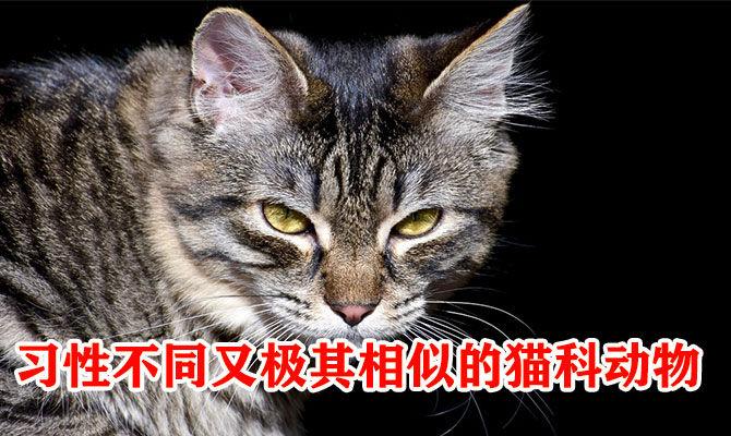 习性不同又极其相似的猫科动物