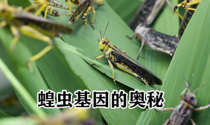 蝗虫基因的奥秘