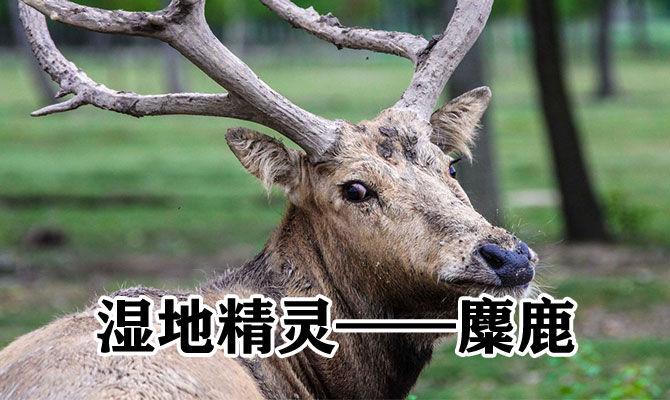 湿地精灵——麋鹿
