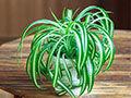 吊兰是植物中的吸甲醛之王?