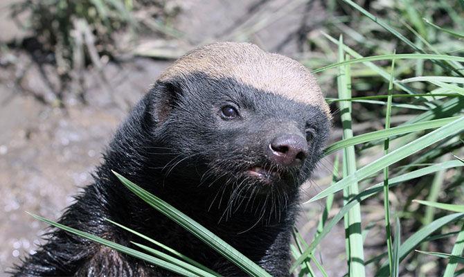 笔尖科学—蜜獾