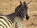 斑马是黑斑白马还是白斑黑马