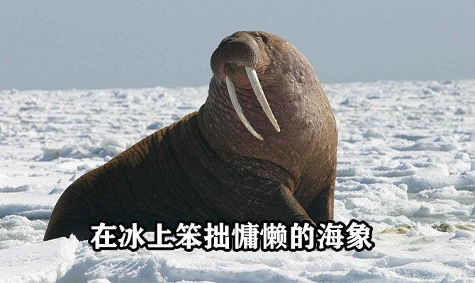 在冰上笨拙慵懒的海象