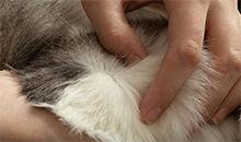 如何防治跳蚤通过家养猫狗宠物叮咬人类?