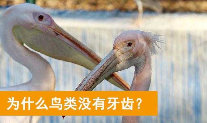 为什么鸟类没有牙齿?