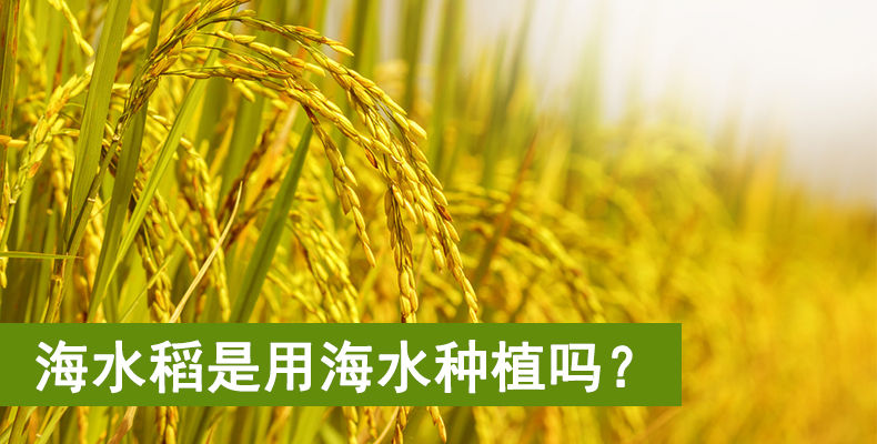海水稻是用海水种植吗?