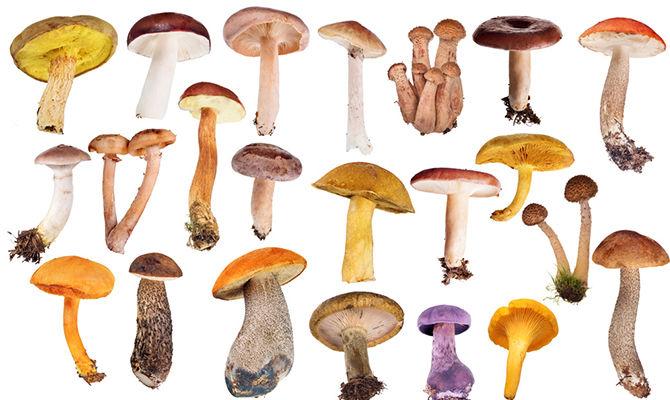 哪种蘑菇引起的中毒事件最多?