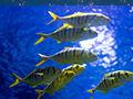 鱼类为什么能顶住深海压力?